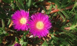 Bright pink ice plant flowers.